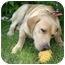 Photo 3 - Labrador Retriever Dog for adoption in Ladysmith, Wisconsin - Buddy