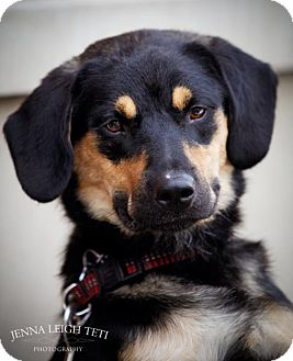 Rottweiler/Beagle Mix Dog for adoption in Jersey City, New Jersey - FLYNN ROBINSON
