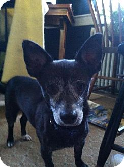 Terrier (Unknown Type, Small)/Chihuahua Mix Dog for adoption in Brooklyn, New York - Pirata