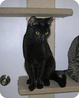 Domestic Shorthair Cat for adoption in Edmond, Oklahoma - Yang