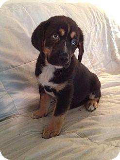 Australian Shepherd/Dachshund Mix Puppy for adoption in LaGrange, Kentucky - KAM