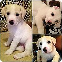 Adopt A Pet :: Tinkerbell's pups - Alexandria, VA