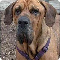 Adopt A Pet :: Nigel - New York, NY