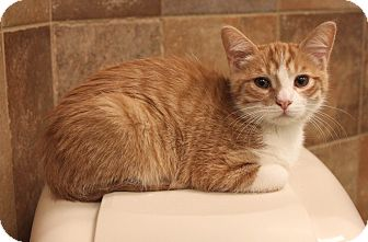Domestic Shorthair Cat for adoption in Smyrna, Georgia - Mikey