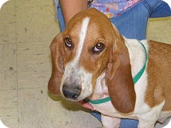Basset Hound Dog for adoption in Grapevine, Texas - Lolly
