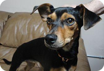 Dachshund/Miniature Pinscher Mix Puppy for adoption in Meridian, Idaho - Jayce