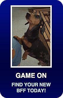 Dachshund Dog for adoption in Morrisville, Pennsylvania - Freckles