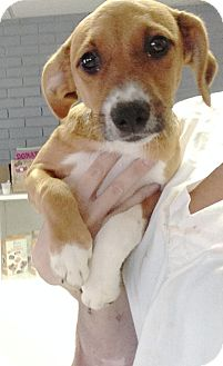 Beagle/Terrier (Unknown Type, Small) Mix Puppy for adoption in Pompton Lakes, New Jersey - Tangie's female pup