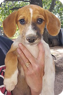 Beagle/Corgi Mix Puppy for adoption in Trenton, New Jersey - Franny