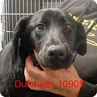 Adopt A Pet :: Dutchess - Greencastle, NC