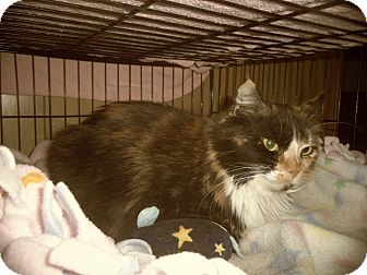 Maine Coon Cat for adoption in Medford, Wisconsin - CALLIE