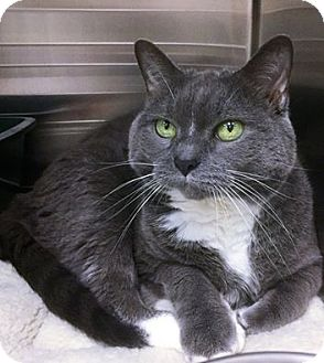 Domestic Shorthair Cat for adoption in Webster, Massachusetts - Cuddles