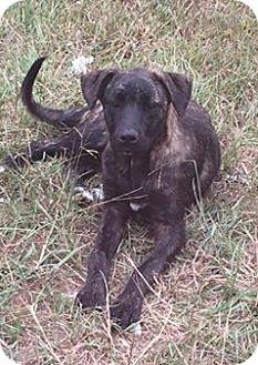 Presa Canario Puppy for adoption in Sylacauga, Alabama - Payton