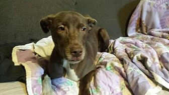 Labrador Retriever/American Staffordshire Terrier Mix Dog for adoption in Olympia, Washington - Silas