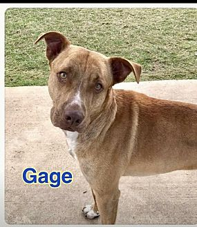 Labrador Retriever/Pit Bull Terrier Mix Dog for adoption in Ocala, Florida - GAGE