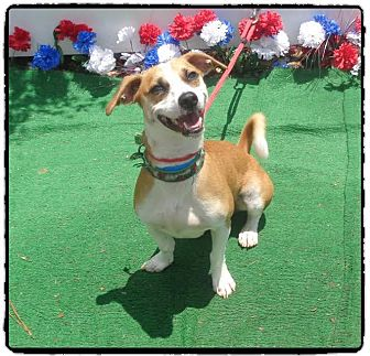 Basenji/Chihuahua Mix Dog for adoption in Marietta, Georgia - BANDIT - reclaimed