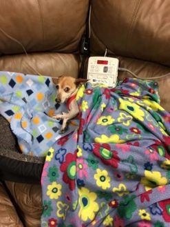 Jack Russell Terrier Mix Dog for adoption in Spruce Grove, Alberta - CHEEZIE