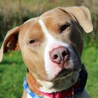 Adopt A Pet :: Charger - Elkhorn, WI