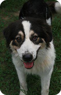 Great Pyrenees/Australian Shepherd Mix Dog for adoption in Attalla, Alabama - Lily