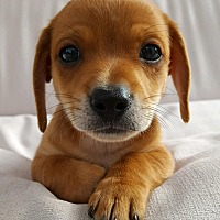 Adopt A Pet :: Sumo - Thousand Oaks, CA
