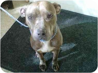 American Pit Bull Terrier Mix Dog for adoption in Bolton, Connecticut - Momma