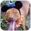 Photo 2 - American Pit Bull Terrier Dog for adoption in Huntington, New York - Heathcliff
