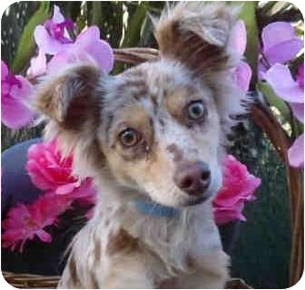 Australian Cattle Dog Puppy for adoption in north hollywood, California - Merry