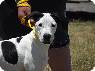 Dalmatian/Labrador Retriever Mix Dog for adoption in Defiance, Ohio - Speckles