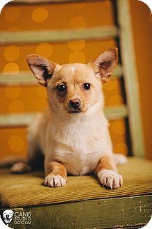 Corgi Mix Puppy for adoption in Portland, Oregon - Betty
