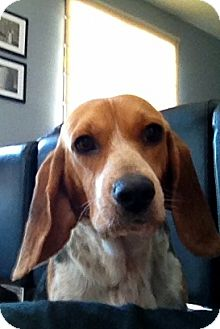 Beagle Dog for adoption in Wappingers, New York - Mandy