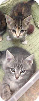 Calico Kitten for adoption in Aiken, South Carolina - Taylor (top)