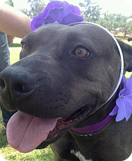 Shar Pei/Pit Bull Terrier Mix Dog for adoption in Mira Loma, California - Cleo