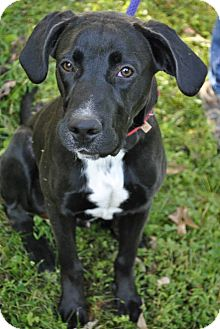 Labrador Retriever/Plott Hound Mix Dog for adoption in Sylva, North Carolina - Albert