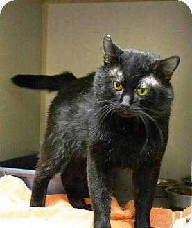Domestic Shorthair Cat for adoption in Indianola, Iowa - Otis