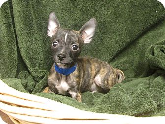 Boston Terrier/Chihuahua Mix Puppy for adoption in Benbrook, Texas - Norman