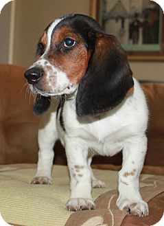 Basset Hound/Australian Cattle Dog Mix Puppy for adoption in LEXINGTON, Kentucky - Sinatra