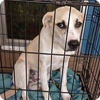 Adopt A Pet :: Allie - Childress, TX