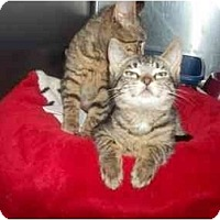 Adopt A Pet :: siblings - Little Neck, NY