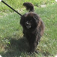 Adopt A Pet :: Bear - Hamilton, ON