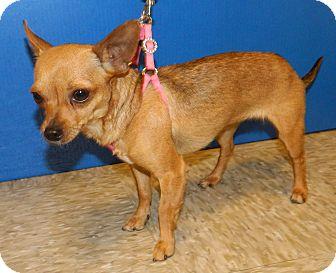 Chihuahua/Chihuahua Mix Dog for adoption in Umatilla, Florida - Pinkie