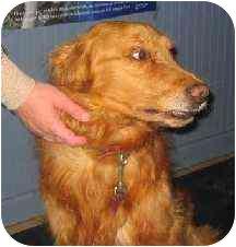 Golden Retriever Dog for adoption in Cleveland, Ohio - Max