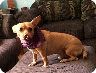 Dachshund/Chihuahua Mix Dog for adoption in Oviedo, Florida - Dempsey