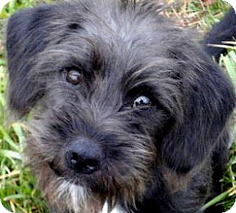 Poodle (Miniature) Mix Puppy for adoption in Winchester, Kentucky - HAPPY(ADORABLE  SCRUFFY PUPPY!