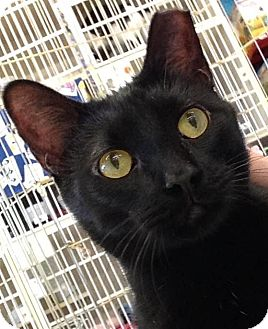 Domestic Shorthair Cat for adoption in Hillside, Illinois - Rocky