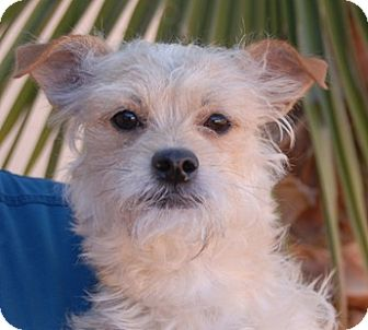 Terrier (Unknown Type, Small) Mix Dog for adoption in Las Vegas, Nevada - Prince