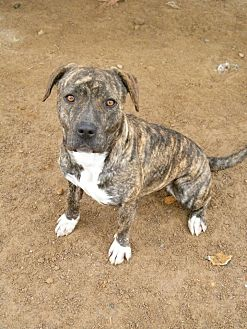 Staffordshire Bull Terrier Mix Dog for adoption in Las Vegas, Nevada - J-Low