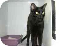 Domestic Shorthair Cat for adoption in West Warwick, Rhode Island - Robyn