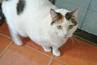 Domestic Shorthair Cat for adoption in Sebastian, Florida - Molly