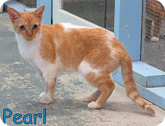 Domestic Shorthair Cat for adoption in Georgetown, South Carolina - Pearl
