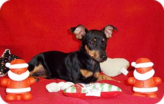 Miniature Pinscher Mix Dog for adoption in Greenville, Kentucky - Prissy